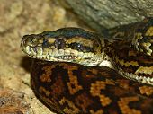 Python In Australia