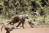 baboon troop running, mother and young in kenya