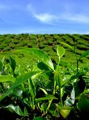 Tea Farm with Blue Sky