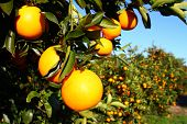 picture of florida-orange  - Beautiful Florida Oranges in the southern USA - JPG