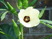 Okra And Flower