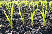 green shots of garlic under sun rays