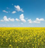 flower of oil rapeseed field in field with blue sky and clouds. soft focus on field