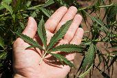 verde hoja de marihuana en una mano