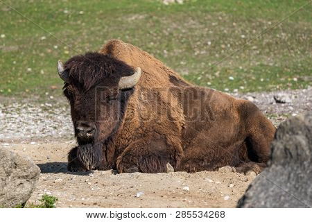 The American Bison Or Simply