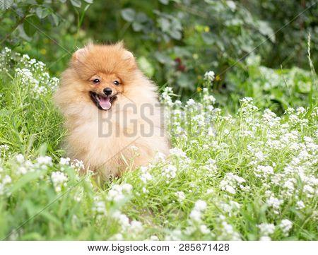 poster of Beautiful orange dog - pomeranian Spitz. Puppy pomeranian dog cute pet happy smile playing in nature