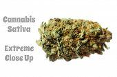 Marijuana.Extreme Close up of Cannabis Sativa. Prescription Medical and Recreational Dried Marijuana poster