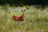 roe deer in the grass