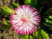 Close-up Of A Lush Pink Common Daisy Flower Also Known As  Bellis Perennis Under The Sunshine. Sprin poster