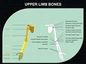 VECTOR - Upper Limb Bones of Human Body - All Major Bones (clavicle, scapula, humerus, clinic, radiu
