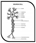 VECTOR - Human Neuron Cell - Including Cell Parts ( dendrite, nucleus, myelin sheath, axon, body, me