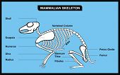 VECTOR - Mammalian Skeleton