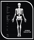 VECTOR - Human Skeleton (All Major Bones of Human Body) in anatomical position - Front View - Helpfu