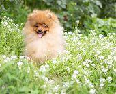 Beautiful orange dog - pomeranian Spitz. Puppy pomeranian dog cute pet happy smile playing in nature poster