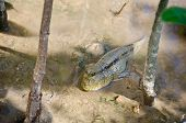 stock photo of amphibious  - Mudskipper - JPG