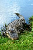 stock photo of crocodilian  - American Alligator basking on the edge of a pond - JPG