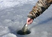 picture of crappie  - crappie caught ice fishing being released back into the whole - JPG