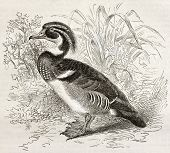 Wood Duck old illustration (Aix sponsa). Created by Kretschmer and Illner, published on Merveilles d