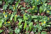 Ramsons And Winter Aconite In A Beech Forest