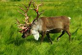 stock photo of caribou  - This caribou was photographed during a trip to Alaska en route to Denali National Park - JPG