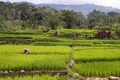 Ricefields of Sumatra