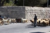 BETHLEHEM, SHEPHERDS FIELD - OCTOBER 05: The shepherd leads a flock of sheep grazing just as in biblical times in Bethlehem, Israel on October 05, 2006.