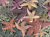 image of crustations  - Star Fish Collection on Eagle Island ME - JPG
