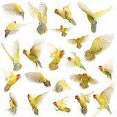 Composition of Rosy-faced Lovebird flying, Agapornis roseicollis, also known as the Peach-faced Love