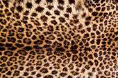 Pele de leopardo real.