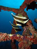 Two Pennant Bannerfish