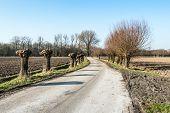 Pollard Wilows Along A Dutch Country Road