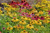 Colorful Echinacea Garden