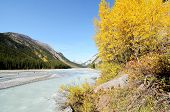 Athabasca River Of Yellow Leaves,canadian Rockies,canada