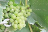 Green Grapes In A Vineyard Cover With Insecticide.