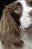 Closeup of English Springer Spaniel against black background