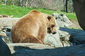 Brown Bearin The Wild