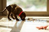 stock photo of labradors  - Beautiful brown Labrador eating food from its plate in the living room - JPG