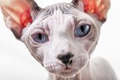 Canadian Sphynx cat portrait close-up