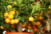 image of tangerine-tree  - decorative tangerine trees in pots for sale - JPG
