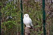 stock photo of snowy owl  - Owl Snowy arctic white black predator wild wildlife beak december - JPG