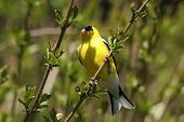 American Goldfinch -Carduelis Tristis