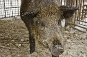 Close Up Of A Wild Boar In A Cage