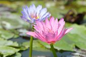 Beautiful Blooming Lotus Flower Or Water Lily With Its Relfection Shadown In Blue Wate