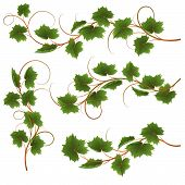 foto of grape-vine  - Set from vine on a white background - JPG