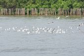 pic of flock seagulls  - Flocks of Seagull on water at Bangpoo of Thailand - JPG