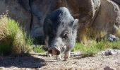 picture of pot bellied pig  - Pot bellied Pig sniffing around in the Nevada Desert - JPG
