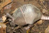 Armadillo At Work