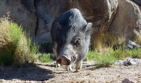 pic of pignose  - Pot bellied Pig sniffing around in the Nevada Desert - JPG