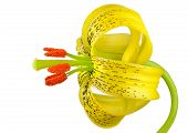 image of asiatic lily  - Yellow Asiatic lily with Black Spots and Orange Anthers Isolated on White - JPG