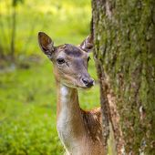 Close-up Fallow Deer In Wild Nature